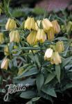 FRITILLARIA pallidiflora   Portion(en)