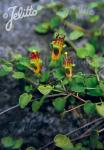FUCHSIA procumbens   Portion(en)