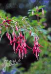 FUCHSIA magellanica   Portion(s)
