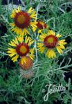 GAILLARDIA pinnatifida   Portion(en)