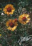 GAILLARDIA aristata  wild form Portion(s)