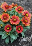 GAILLARDIA aristata  'Arizona Rote Töne' Portion(en)