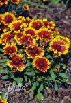 GAILLARDIA aristata  'Arizona Sun' Portion(s)