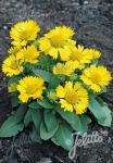 GAILLARDIA aristata  'Mesa Yellow' F1 Portion(en)
