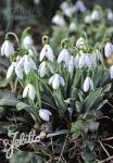 GALANTHUS elwesii   Portion(s)