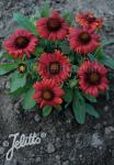 GAILLARDIA aristata  'Mesa Red' F1 Portion(en)