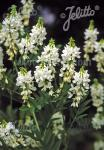 GALEGA officinalis  'Alba' Portion(s)