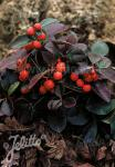 GAULTHERIA procumbens   Portion(en)