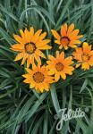 GAZANIA krebsiana  'Tanager®' Portion(en)