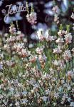 GAURA lindheimeri  'Summer Breeze' Portion(en)