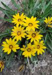 GAZANIA linearis  Colorado Gold®
