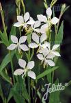 GAURA lindheimeri  'Cool Breeze' Portion(en)