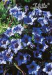 GENTIANA sino-ornata  'Blauer Diamant' Portion(en)