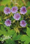 GERANIUM bohemicum   Seeds