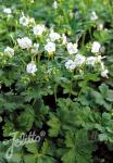 GERANIUM macrorrhizum  'White Ness' Portion(s)