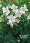 GERANIUM pratense f. albiflorum   Portion(en)