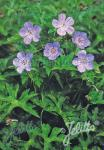 GERANIUM wallichianum  'Buxton's Variety' Portion(en)
