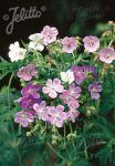 GERANIUM pratense  'Painter's Palette' Portion(en)