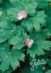 GLAUCIDIUM palmatum   Portion(en)