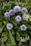 GLOBULARIA nudicaulis   Portion(en)
