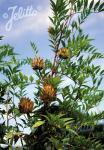 GLYCYRRHIZA yunnanensis   Portion(en)
