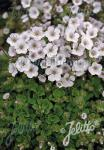 GYPSOPHILA cerastioides   Portion(s)