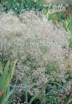 GYPSOPHILA paniculata   Portion(en)