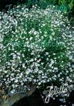 GYPSOPHILA repens   Portion(en)