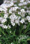 GYPSOPHILA repens  'Filou White' Portion(s)