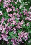 GYPSOPHILA repens  'Filou Rose' Portion(s)