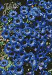 GENTIANA angustifolia  'Frei-Hybr.' Korn