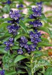 GENTIANA cruciata  'Blue Cross' Seeds