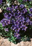 GENTIANA septemfida var. lagodechiana  'Select' Seeds
