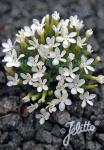 GENTIANA verna var. angulosa  'Alba' Korn