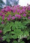 GERANIUM macrorrhizum  wild form Seeds