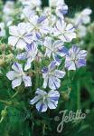 GERANIUM pratense  'Striatum' Seeds