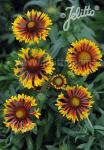 GAILLARDIA aristata  'Fire Wheels'