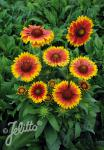 GAILLARDIA aristata  'Granada'(TM) Portion(en)