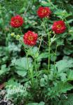 GEUM chiloense  'Feuerball'