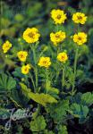 GEUM chiloense  'Goldball' Portion(s)