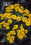 HELENIUM autumnale  'Helena Gold' Portion(s)