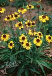 HELENIUM bigelovii  'Tip Top' Portion(en)