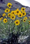 HELIANTHELLA quinquenervis   Portion(en)