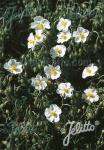 HELIANTHEMUM apenninum   Portion(en)