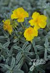 HELIANTHEMUM croceum   Portion(en)