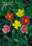 HELIANTHEMUM nummularium mutabile   Portion(en)