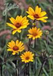 HELIOPSIS helianthoides var. scabra  'Summer Nights' Portion(s)