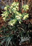 HELLEBORUS foetidus   Portion(en)