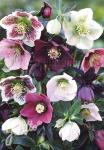 HELLEBORUS Orientalis-Hybr.-  Mixture Portion(s)