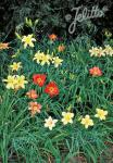 HEMEROCALLIS x  'New Hybrids' Portion(s)